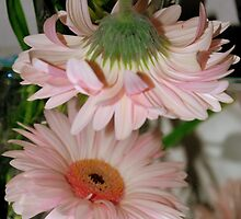 Mirrored Gerbera by Karen Martin