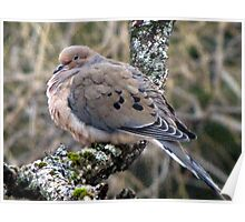 Mourning Dove in Love Poster