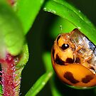 Lady Beetle by Aaron Murgatroyd
