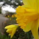 My Daffodil I by Emsky