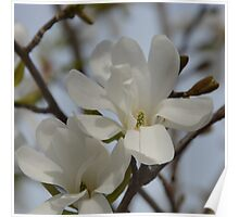White Magnolia Blooming in The Spring Poster