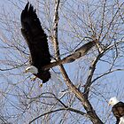Bald Eagle Taking Off- 7980 by BartElder