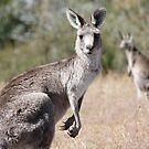 Kangaroo in Tidbinbilla by Christopher Meder