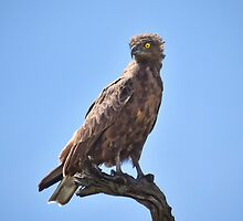Brown Snake-eagle by Karine Radcliffe