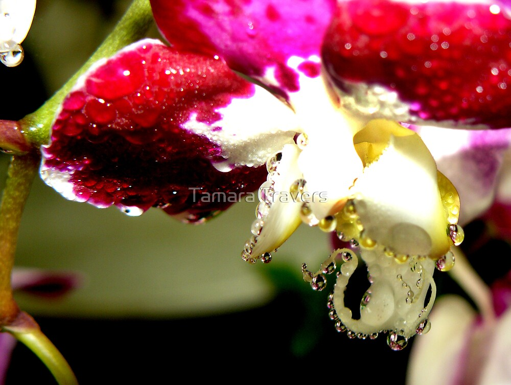 Misty Orchid by Tamara Travers
