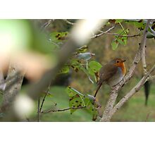 Robins perch Photographic Print