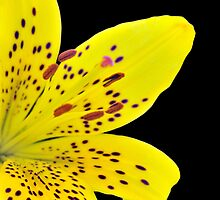 Yellow Lily On Black by IOANNA PAPANIKOLAOU