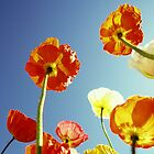 Flamboyant Poppies by JoMann