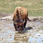 Bison Reflection by AnnDixon