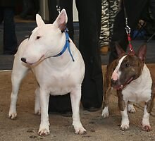 Miniature Bull Terriers by anibubble