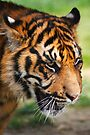 Tiger Portrait by SWEEPER