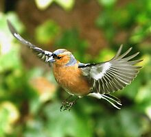 April Chaffinch by dsargent