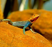 Agama by Nancy Barrett