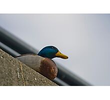 Watchful Duck Photographic Print