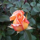 Perfect P E A C H Rose by Diane Trummer Sullivan