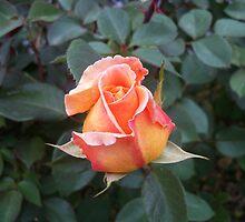 Perfect P E A C H Rose by Diane Trummer Sullivan