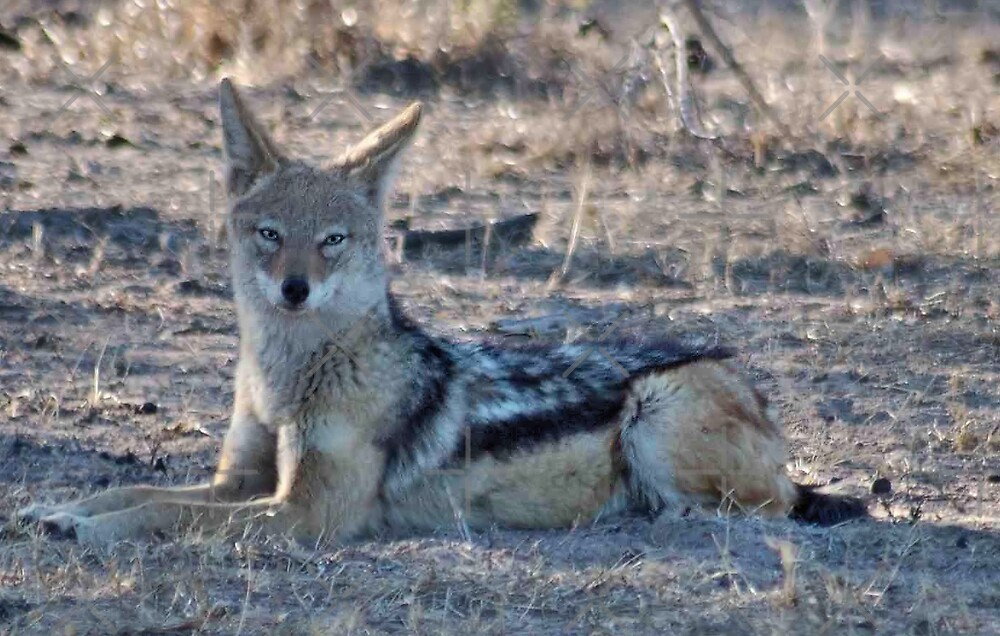 "PERFECT POSE of the ""BLACK-BACKED JACKAL"" by Magriet Meintjes"