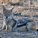 """PERFECT POSE of the """"BLACK-BACKED JACKAL"""" by Magriet Meintjes"""