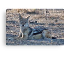 "PERFECT POSE of the ""BLACK-BACKED JACKAL"" Canvas Print"