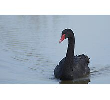 Black Swan At Dusk Photographic Print