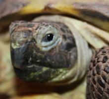 Tibby Tortoise Sticker