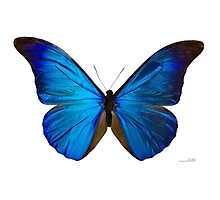 Blue Morpho Butterfly Photographic Print