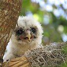 Baby Barred Owl by enyaw