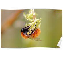 Tawny Mining Bee (Andrena fulva) Poster
