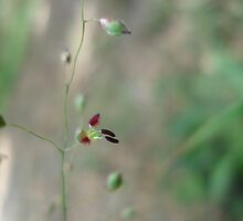 Love Grass Flower (Eragrostis) by May Lattanzio