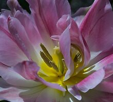 Dwarf Double Murillo Tulip by stresskiller