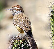 Cactus Wren by noffi