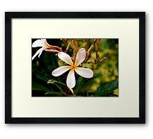 Plumeria Framed Print