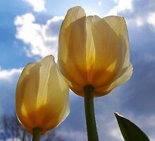 Colorful Tulips  by kentuckyblueman
