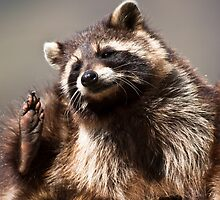 racoon (lat. Procyon lotor) by peterwey