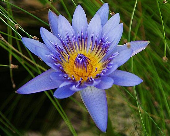 Blue Lilly by Jenny Dean