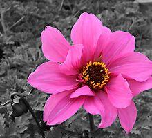 Pink Dahlia by BigD