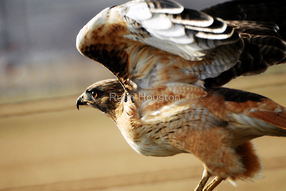 Red-Tailed Hawk - Launch by Ryan Houston