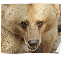 Syrian Brown Bear  II Poster