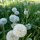 Dandelion Seed Heads In Our Pasture  by Elaine Bawden