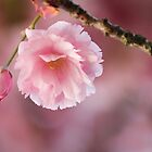 Pink Softness by Tracy Friesen