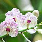 White Orchids by namida