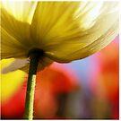 Poppy Harmony by JoMann