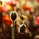 Poppies at Dawn by JoMann