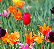 Tulips For Spring by Cynthia48