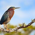Green Heron Profile by Kenneth Keifer