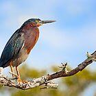 Green Heron Profile by Kenneth Keifer
