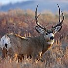 Buck, Afternoon Light in Late Fall by A.M. Ruttle