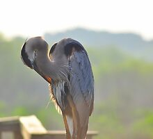 Great Blue Heron by Karl F Davis