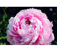Bumblebee on a Pink Peony Flower Photographic Print