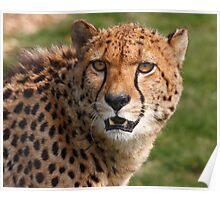 Cheetah 3 Poster